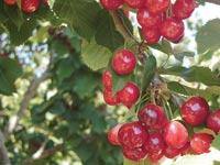 טבע עץ פירות / צלם: יותם יעקבסון